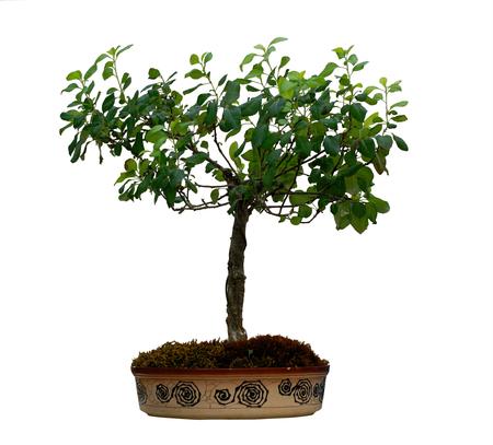 diminutive: bonsai Stock Photo