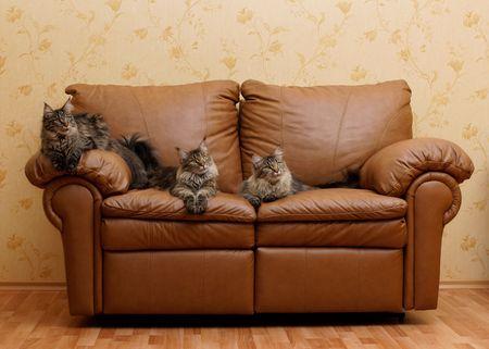 Three cats on a sofa photo