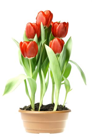 red tulips in brown pot isolated on white background photo