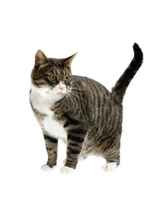 striped cat isolated on white background Stock Photo - 2739564
