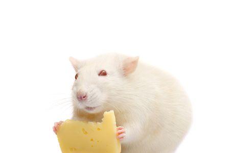 rata: diversi�n rata blanca con queso aislados en fondo blanco  Foto de archivo