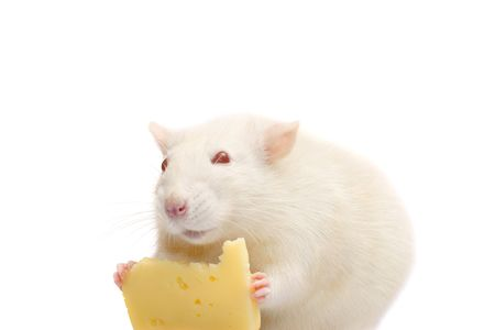 fun white rat with cheese isolated on white background photo