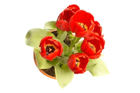 red tulips in pot above view isolated photo