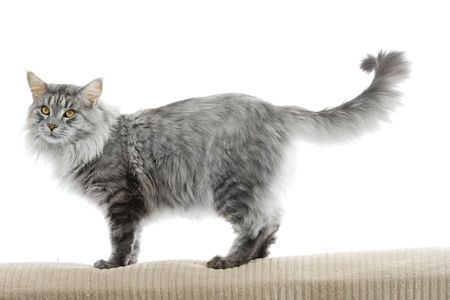 maine coon: chat Maine Coon isol� sur fond blanc