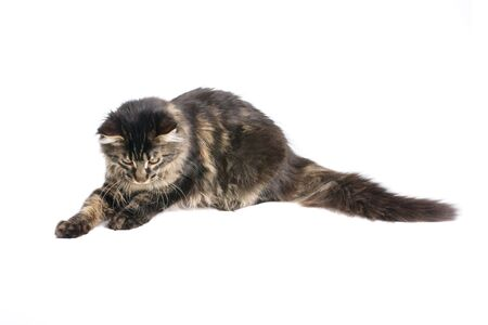 maine coon kitten isolated on white background Stock Photo - 3067342