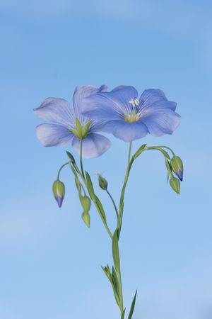 Flower of flax on a clear sky background Фото со стока