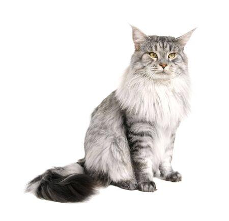 maine cat: Maine Coon aislados en wihite fondo