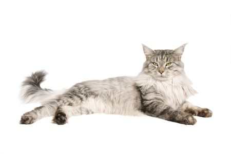 coon: maine coon cat isolated on wihite background