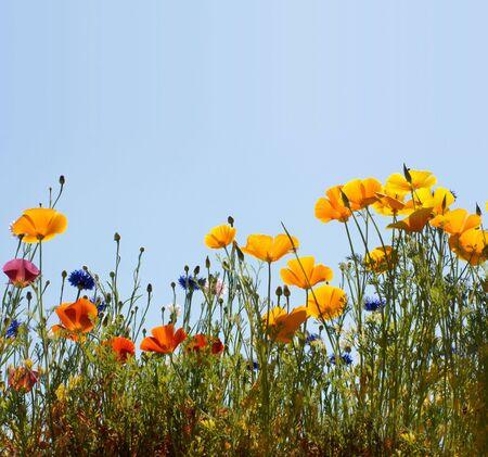 field width california golden poppy and cornflowers