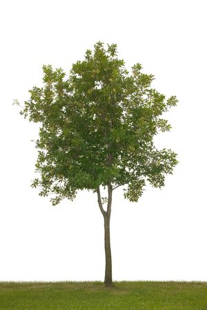 single tree isolated on white background Фото со стока