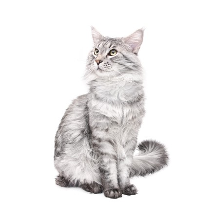grey maine coon cat against white background Фото со стока