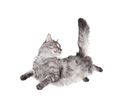 cats playing: jumping cat against white background