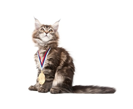 small kitten with gold medal against white background