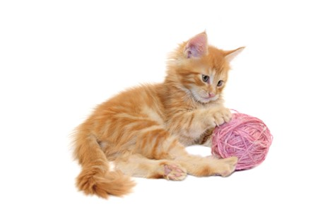 kitten playing with pink wool ball against white background photo