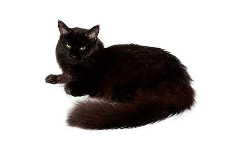 maine cat: black maine coon cat against white background Stock Photo