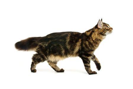 fluffy cat: walking maine coon cat isoalated on white background Stock Photo