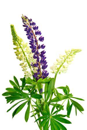 lupin: fiori di lupino isolato su sfondo wihite