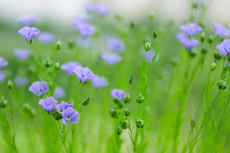 flowers of flax photo