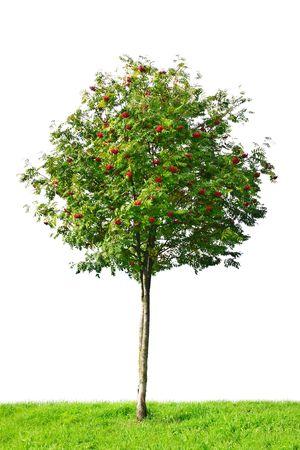 jarzębina: Rowan Tree izolowana na białym tle