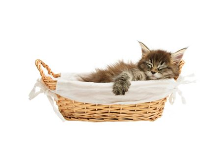 cat sleeping: maine coon kitten in basket isolated on white background