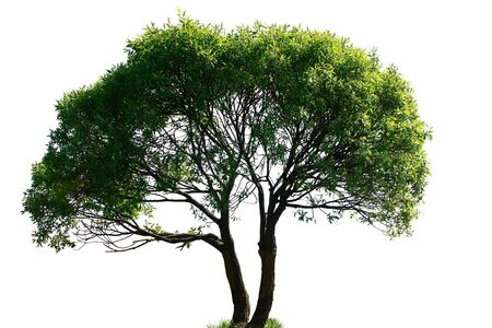 tree isolated on white background Stock Photo - 5891487