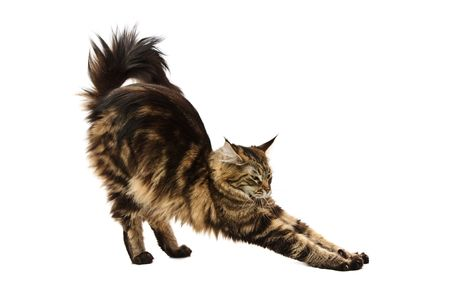 cat stretching: maine coon cat stretching against white background Stock Photo