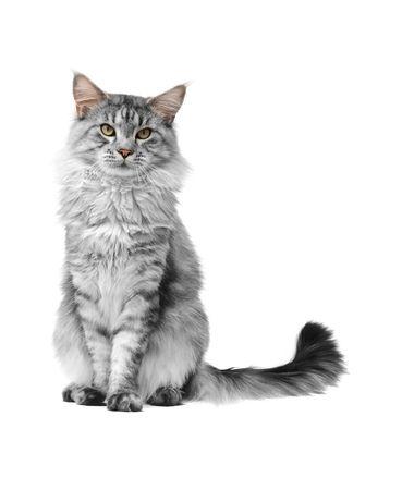 maine cat: gris maine coon gato sobre fondo blanco
