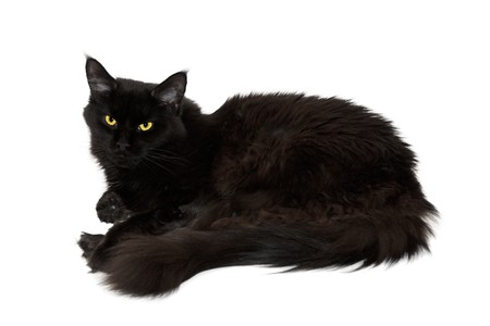 maine cat: Maine coon gato isoalted sobre fondo blanco en negro