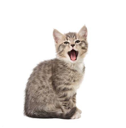 Yawning small grey  kitten isolated on white background