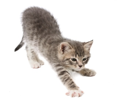 cat stretching: The kitten stretches against white background
