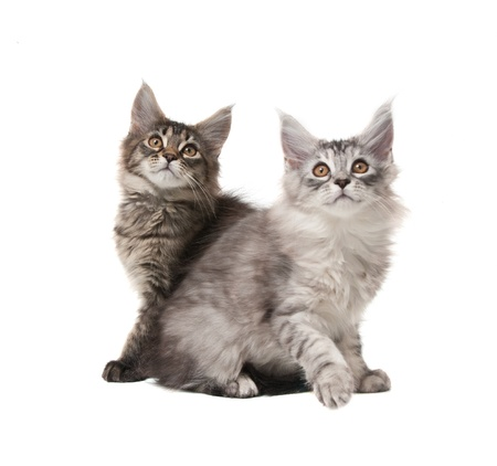 Two fluffy kittens isolated on white background Фото со стока