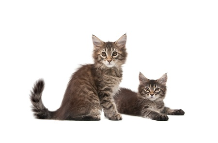 Two fluffy kittens isolated on white background Stock Photo - 9458286