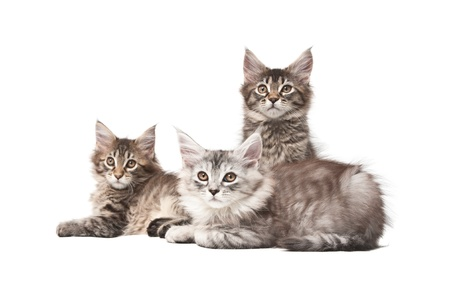 purebred cat: Group of three kittens on a white background
