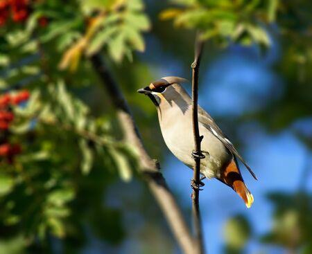 Berries of a rowan and bird         photo