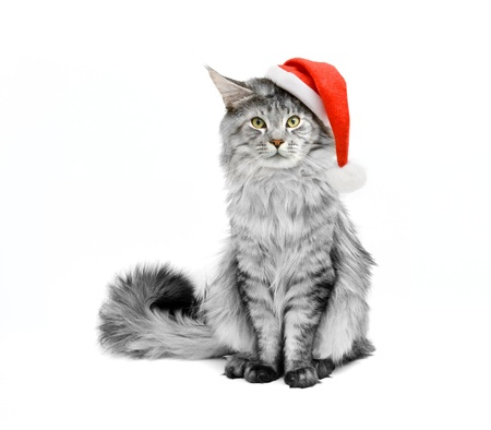 holiday pets: gray cat dressed as Santa Claus on a white background