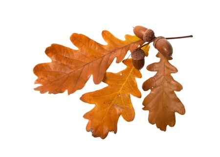 oak leaves: leaves and acorns isolated on white background