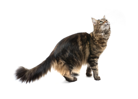 Playful maine coon cat standing on hind legs and looking up. isolated on white background