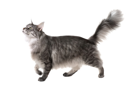 Side view of a maine coon cat walking and looking up on a white background Stockfoto