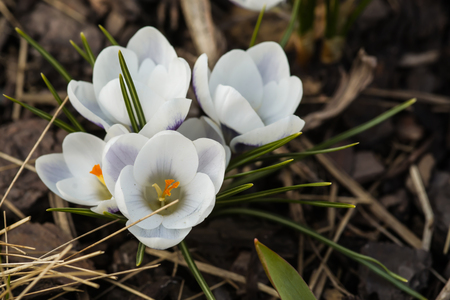 Blooming white crocus flower in the bud stock photo picture and blooming white crocus flower in the bud stock photo 99467775 mightylinksfo