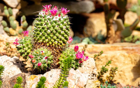 Green cactus with sharp needles and pink purple flower