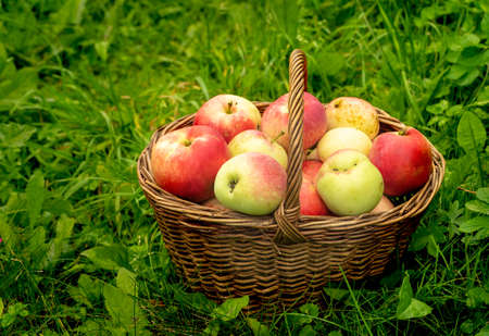 red apples in a basket on a background of green grass