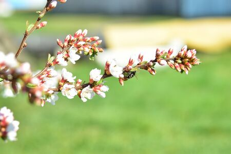 Bees and flowers on Japanese cherry trees in spring Фото со стока