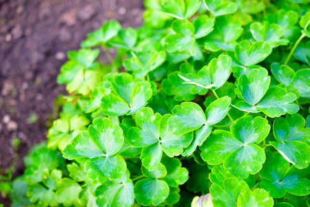 A beautiful Bush of green plants with leaves similar to clover Banco de Imagens