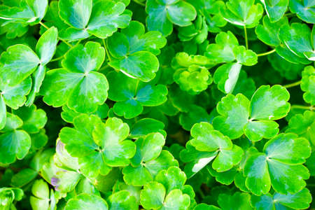 A beautiful Bush of green plants with leaves similar to clover Reklamní fotografie