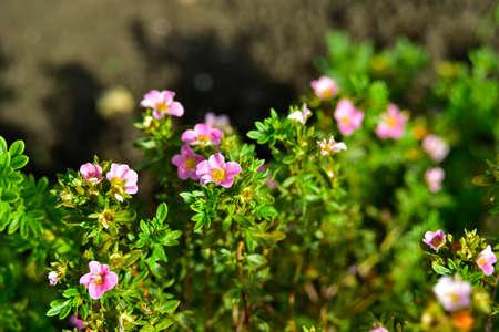 Pink flowers of lapchatnika Bush Lapchatka (lat. Potentilla) in the garden