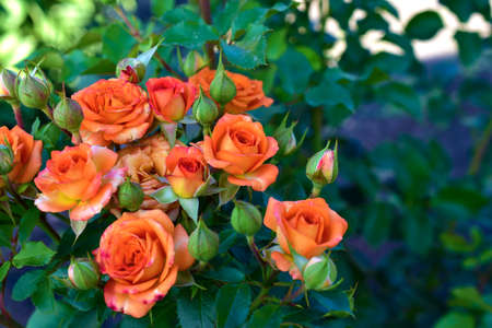 Small beautiful pink flowers rose Spray Kelly rose conina rosehip