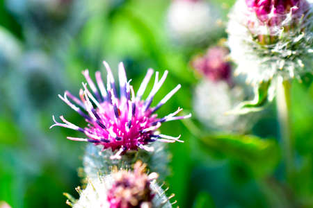 Flowers and thistles close up in the garden in summer