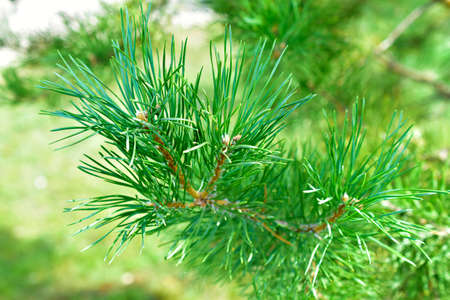 Pine fluffy and beautiful green branches on a coniferous tree 免版税图像