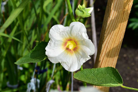White Mallow flowers against the background of greenery and sky Stock Photo