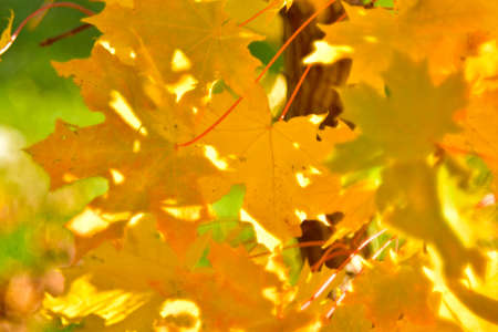 Yellow autumn maple leaves close up in the garden